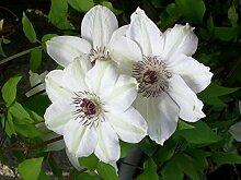 Clematis Kletterpflanze Waldrebe Miss Bateman