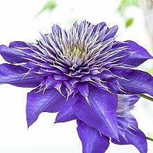 Clematis Kletterpflanze Waldrebe Multi Blue