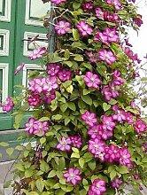 Clematis Nelly Moser® und Clematis Ville de Lyon®, je 1 Pflanze im 2 Liter Topf