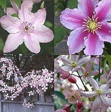 Clematis Rosafarben mix - 4 Pflanzen (4 x 1,5 Liter Topfen) - Rosa & Winterhart - Eine Immergrüne Pflanze | ClematisOnline Kletterpflanzen & Blumen