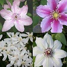 Clematis Rosafarben Weiß mix 2 (4 Pflanzen) - Winterhart - 1 Immergrüne Pflanze - 4 x 1,5 Liter Topfen | ClematisOnline Kletterpflanzen & Blumen