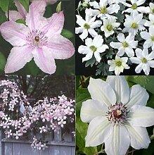 Clematis Rosafarben Weiß mix (4 Pflanzen) - Winterhart - 1 Immergrüne Pflanze - 4 x 1,5 Liter Topfen | ClematisOnline Kletterpflanzen & Blumen