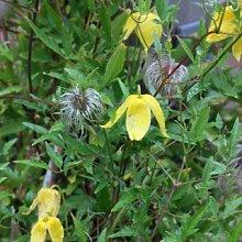 Clematis tangutica - Blühende Kletterpflanze