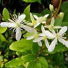 Clematis terniflora Syn. maximowicziana - Schöne Kletterpflanze