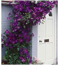 Clematis The President® Kletterpflanze, 1 Pflanze