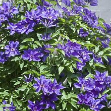 Clematis The President - Kletterpflanze Waldrebe |