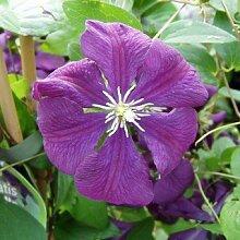 Clematis viticella 'Etoile Violette' - Schöne Kletterpflanze