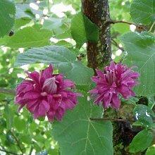 Clematis viticella 'Purpurea Plena Elegans' - Blühende Kletterpflanze