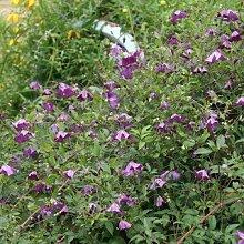 Clematis viticella - Schöne Kletterpflanze