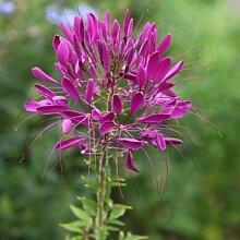 Cleome Violet Queen-Blumensamen (Cleome