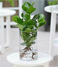 Clusia mit Glasgefäß,1 Pflanze