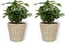 Coffea Arabica - Kaffee Pflanze - Zimmerpflanze im