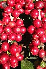 Coffea arabica nana - Zwergkaffeestrauch - 50 Samen