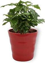Coffea Arabica - Zierspargel - Zimmerpflanze in