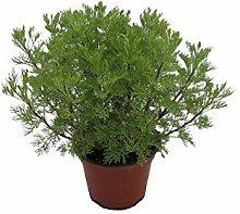 Cola-Strauch, Cola-Kraut, Artemisia abrotanum var.