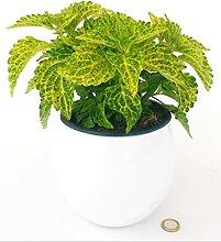 COLEUS Blatt grün-lime in weißer Keramikvase,