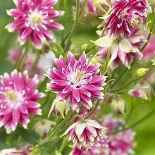 COLUMBINE Nora Barlow Samen - Akelei vulgaris fl.