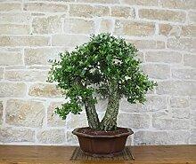 Cork Oak bonsai tree (25)