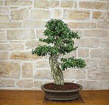 Cork Oak bonsai tree (26)