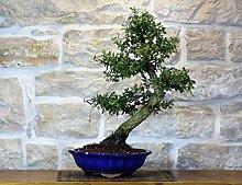 Cork Oak bonsai tree (27)