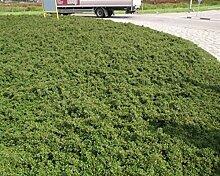 Cotoneaster 50 Streips Findling 15/25 Zwergmispel