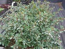 Cotoneaster 50 Stück dammeri Eichholz Zwergmispel