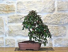 Cotoneaster bonsai tree (63)
