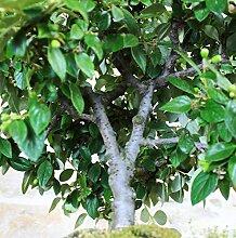 Cotoneaster bonsai tree (9)