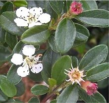 Cotoneaster dammeri Coral Beauty - Teppichmispel