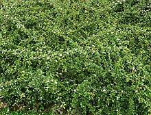 Cotoneaster dammeri radicans Kriechmispel