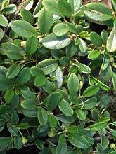 Cotoneaster dammeri var. radicans -Teppichmispel -