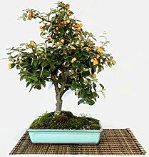 Cotoneaster Lacteus bonsai tree (3)