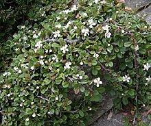 Cotoneaster procumbens Streibs Findling -