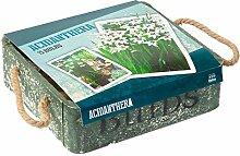 Cottage Style Blumenzwiebel Acidanthera Holzkiste