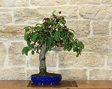 Crabapple bonsai tree (54)