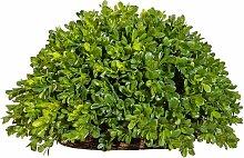 Creativ green Kunstpflanze Buchsbaum Halbkugel (1