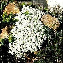 Creeping Thyme Samen oder Blau ROCK Kressesamen -