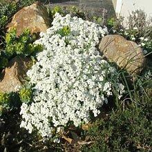 Creeping Thyme Samen oder Blue Rock Kressesamen -