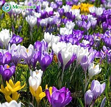 Crocus sativus Blumensamen - 50pcs Hausgarten Bonsai DIY Pflanze Semillas de flores Blumen Samen Lila Weiß