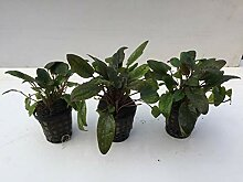 Cryptocoryne Tropica Wasserkelch Wasserpflanzen,