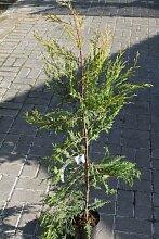 Cupressocyparis leylandii (Castlewellan Gold) - Leyland-Zypresse