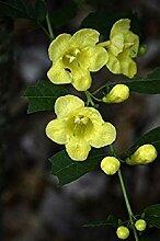 CUSHY Dasistoma Macrophylla Mullein Fingerhut