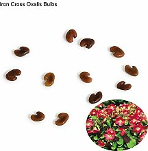CUSHY Potato001 10 PC Shamrock Oxalis Triangularis