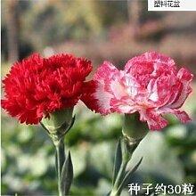 Cut Carnation Blumensamen Blüten und Samen Carnation Samen-Garten-Dekoration Bonsai Blumensamen