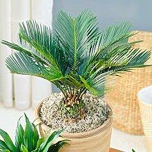 Cycas Revoluta - Sagopalmfarn | Zimmerpflanze
