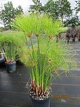 Cyperus papyrus Nofretete - Zwergpapyrus Nofretete