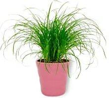 Cyperus Zumula - Katzengras - Zimmerpflanze im