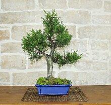 Cypress bonsai tree (6)