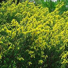 Cytisus Decumbens- Besenginster 30-40 cm