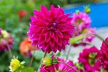 Dahlien Knollen Blumen Im Wohnzimmer MehrjäHriges